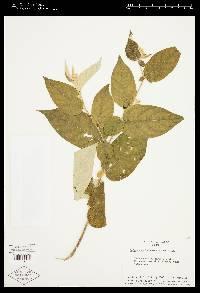 Solanum schlechtendalianum image
