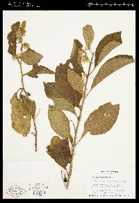Solanum subinerme image