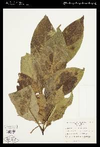 Solanum rugosum image
