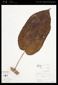 Solanum circinatum image