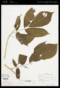 Image of Solanum diversifolium
