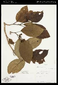 Solanum fosbergianum image