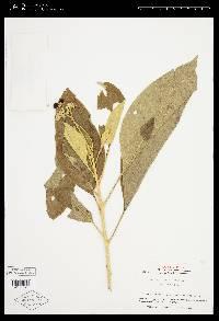 Solanum hazenii image
