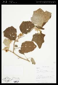 Solanum hirtum image