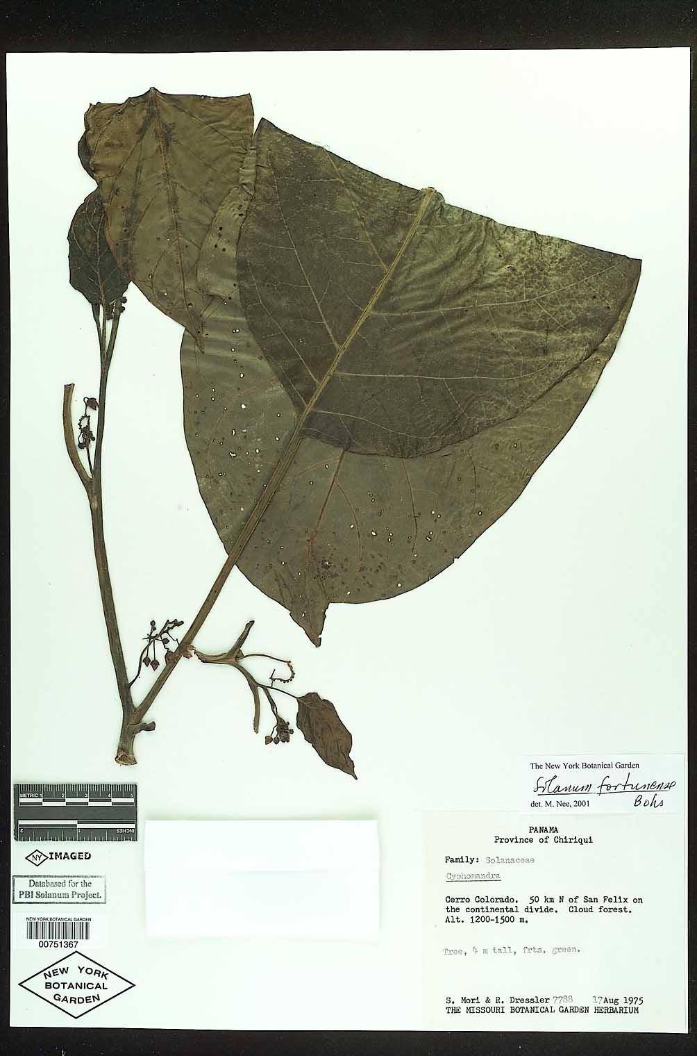 Solanum fortunense image