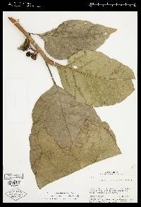 Solanum rovirosanum image