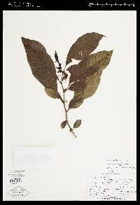 Image of Solanum incomptum