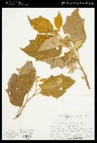 Solanum rudepannum image