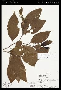 Solanum nudum image
