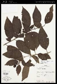 Image of Solanum nudum
