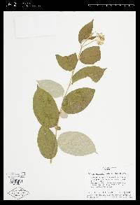 Solanum lepidotum image