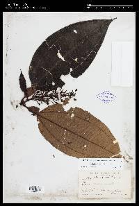 Tococa guianensis image