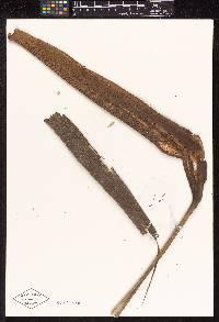 Hyospathe elegans image