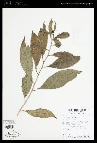 Solanum aphyodendron image