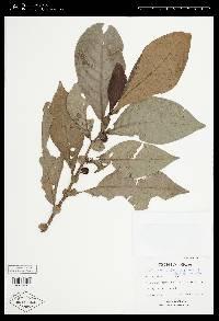 Solanum arboreum image