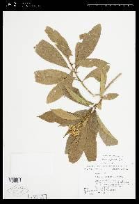 Solanum asperum image