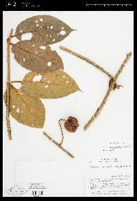 Solanum aturense image