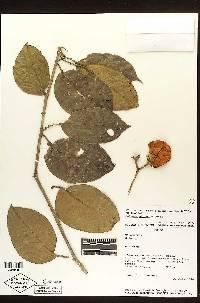 Image of Solanum aturense