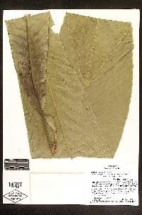 Gustavia grandibracteata image