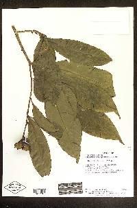 Gustavia brachycarpa image