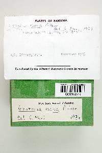 Gustavia nana image