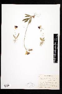 Image of Telipogon endresianus