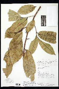 Lecythis mesophylla image