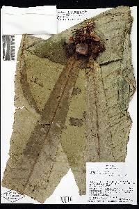 Gustavia monocaulis image