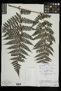 Megalastrum atrogriseum image