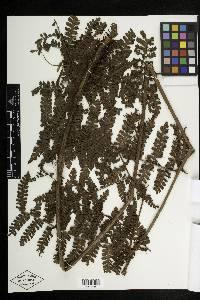 Megalastrum galeottii image