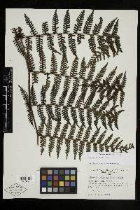 Megalastrum dentatum image