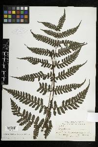 Megalastrum palmense image