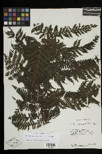 Megalastrum pulverulentum image