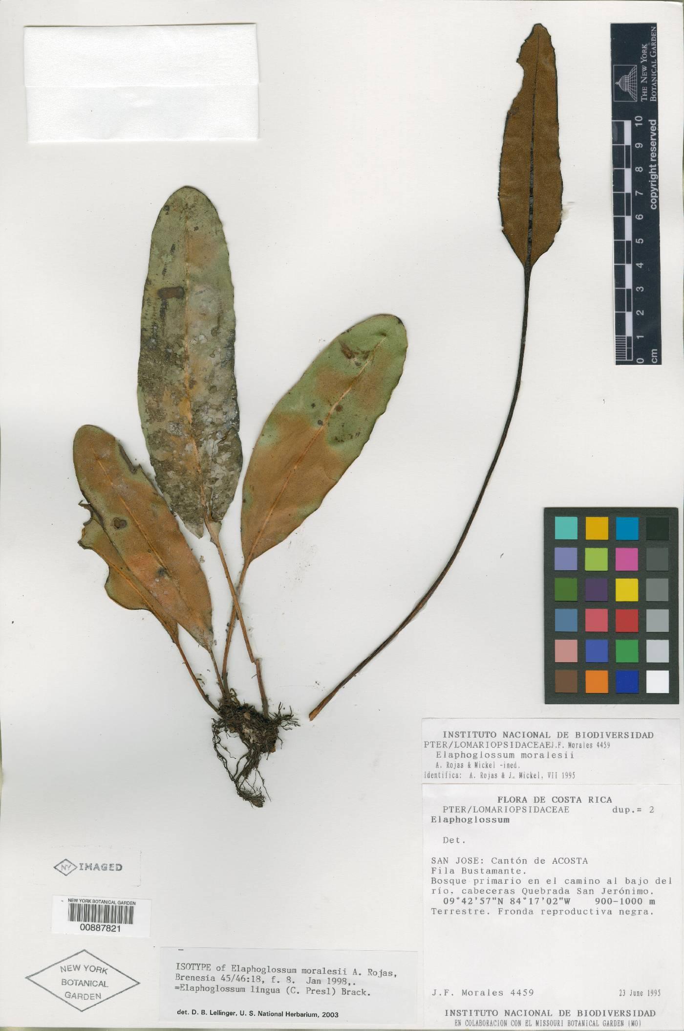Elaphoglossum moralesii image