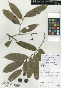Unonopsis bullata image