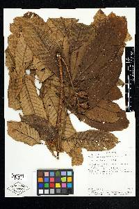Trichilia septentrionalis image