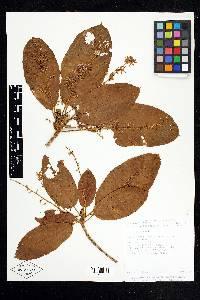 Sterculia recordiana image