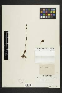Prescottia oligantha image