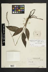 Prescottia stachyodes image