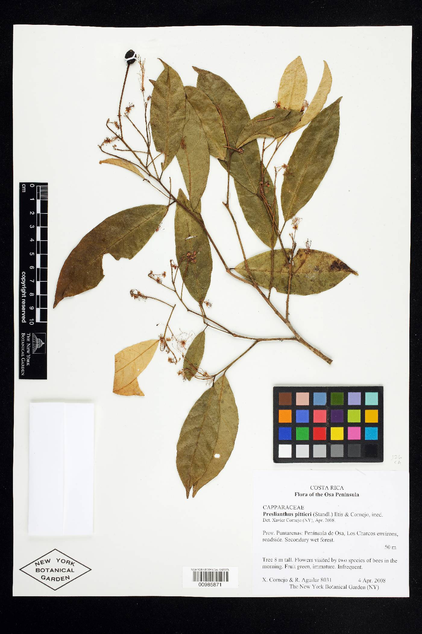 Preslianthus pittieri image