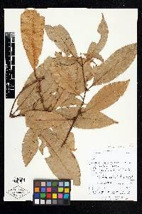 Pouteria reticulata image