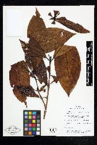 Alibertia edulis image