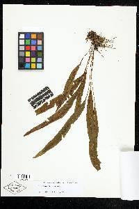 Elaphoglossum burchellii image