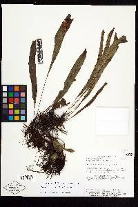 Elaphoglossum ciliatum image