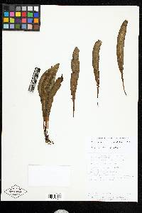 Elaphoglossum nigrescens image
