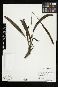 Elaphoglossum huacsaro image