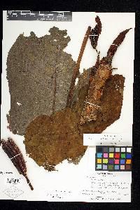 Cecropia heterochroma image