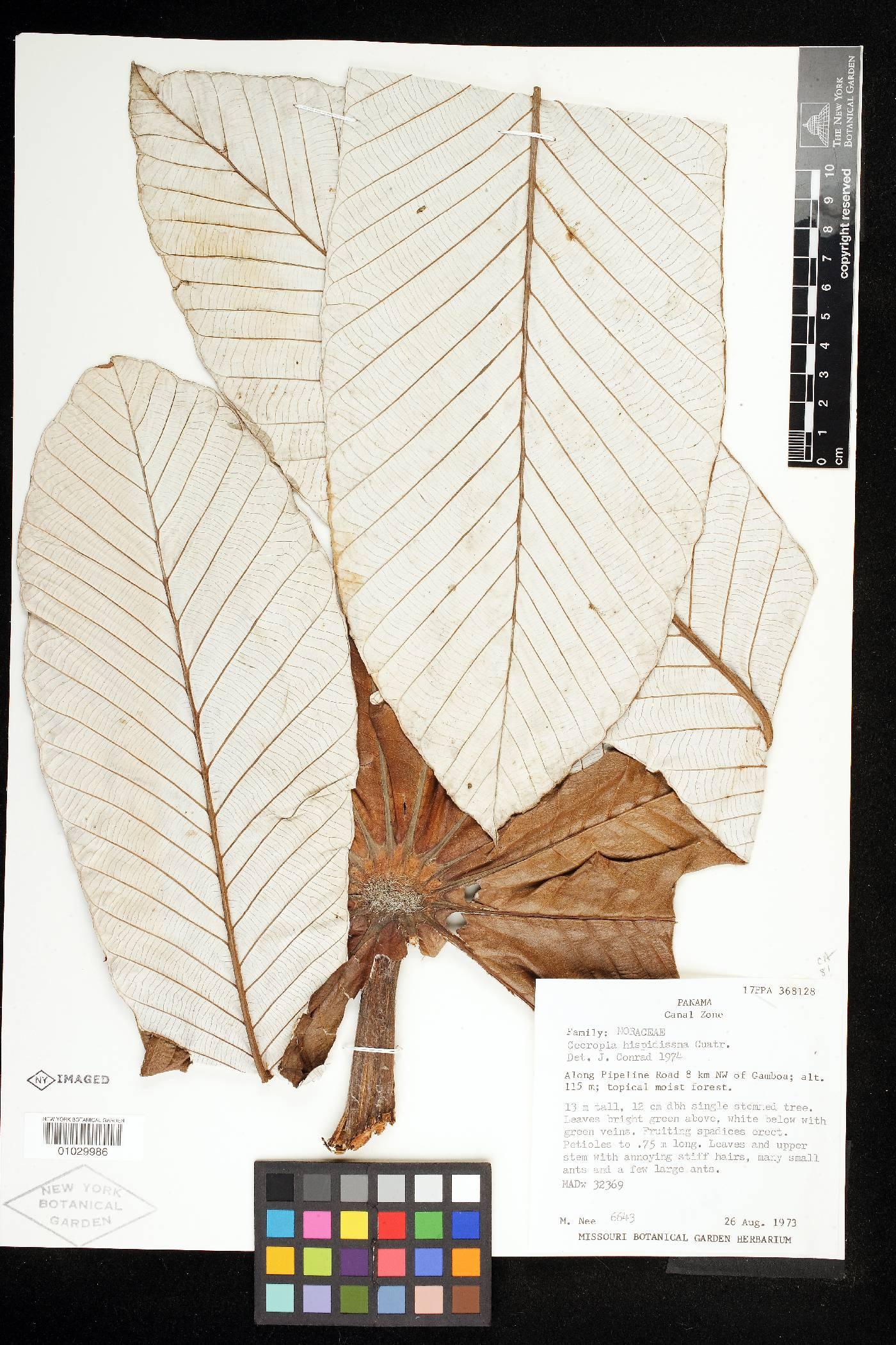 Cecropia hispidissima image