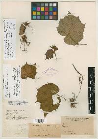 Begonia plebeja image