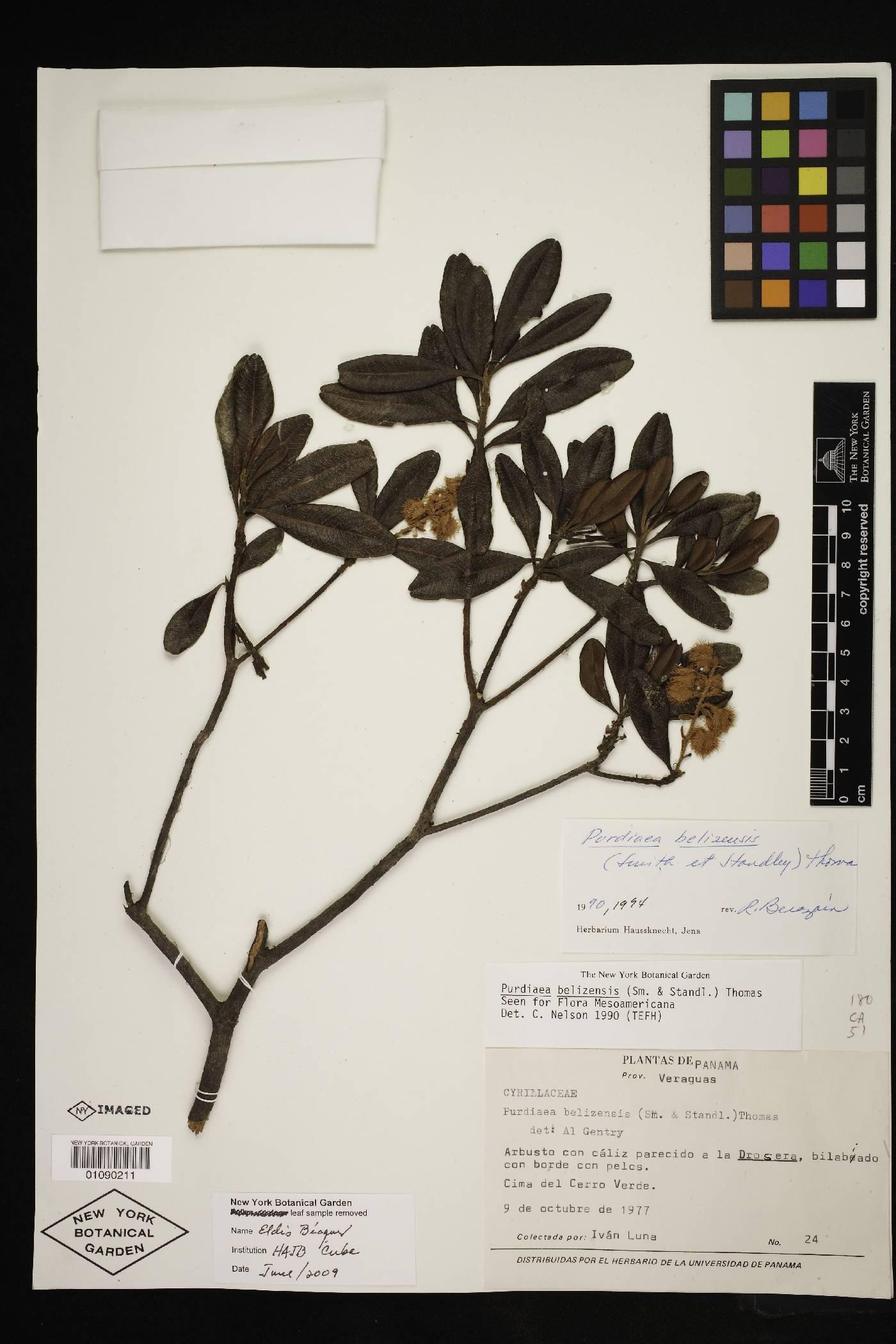 Purdiaea belizensis image